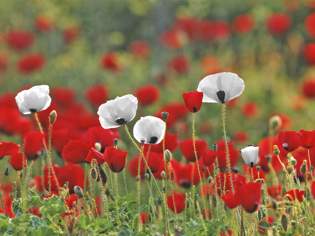 Remembrance a poem by a red white poppy wearer antonia sara if i don a red poppy it is not for one state it is not to declare some glory in war its so often started by greed fear or hate mightylinksfo