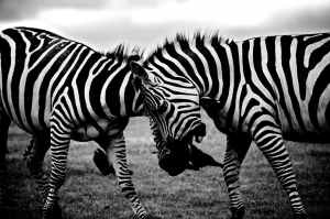 africa animals black and white wild