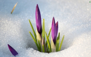 snow-crocuses-2
