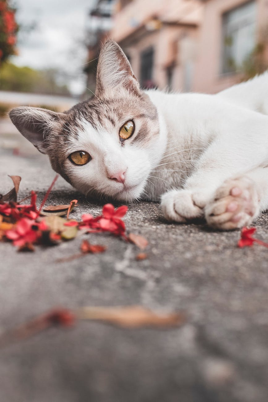 A beautiful cat lies on its side on a pavement. Its paws stretch towards red flowers and leaves on the ground. The cat looks directly at the viewer.